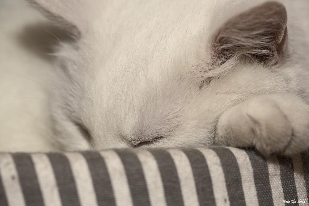 Photo in Animal #cat #chill #relax #sleep #cute #white cat #elvis