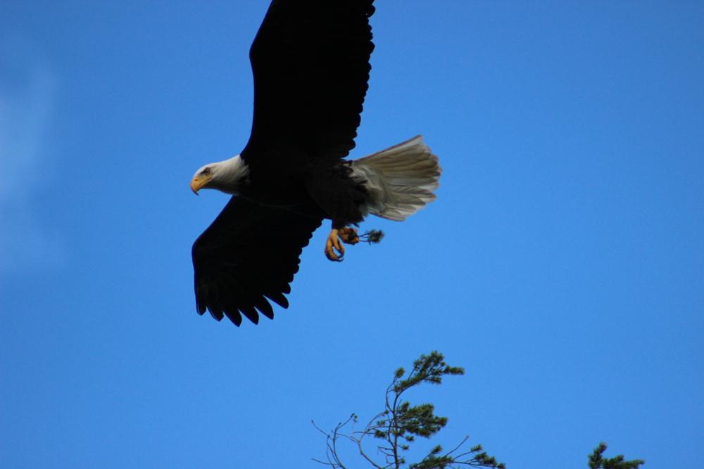 Photo in Animal #bald eagle #soaring #beautiful bird