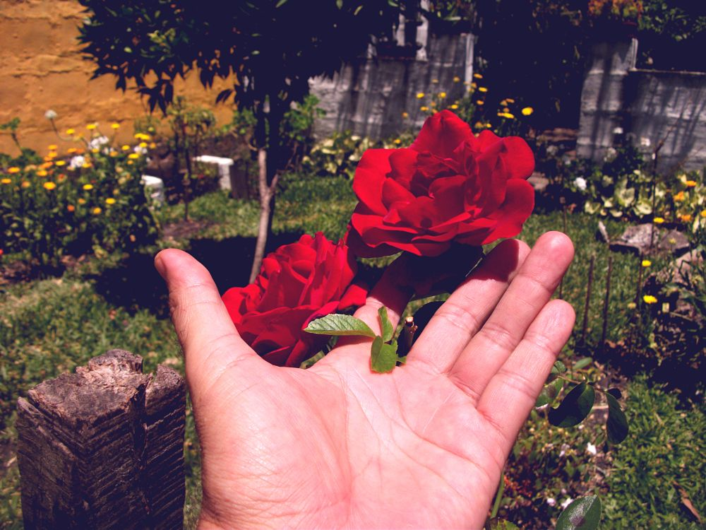 Photo in Nature #rose #gardener #garden #flower #red #nature #close up #botanic #blooming #flowered #fragance #hand