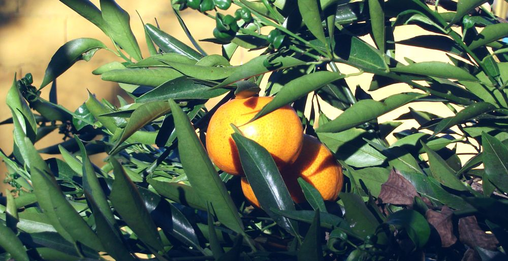 Photo in Nature #fruits #orange #leaves #two #juicy #orchard #citric