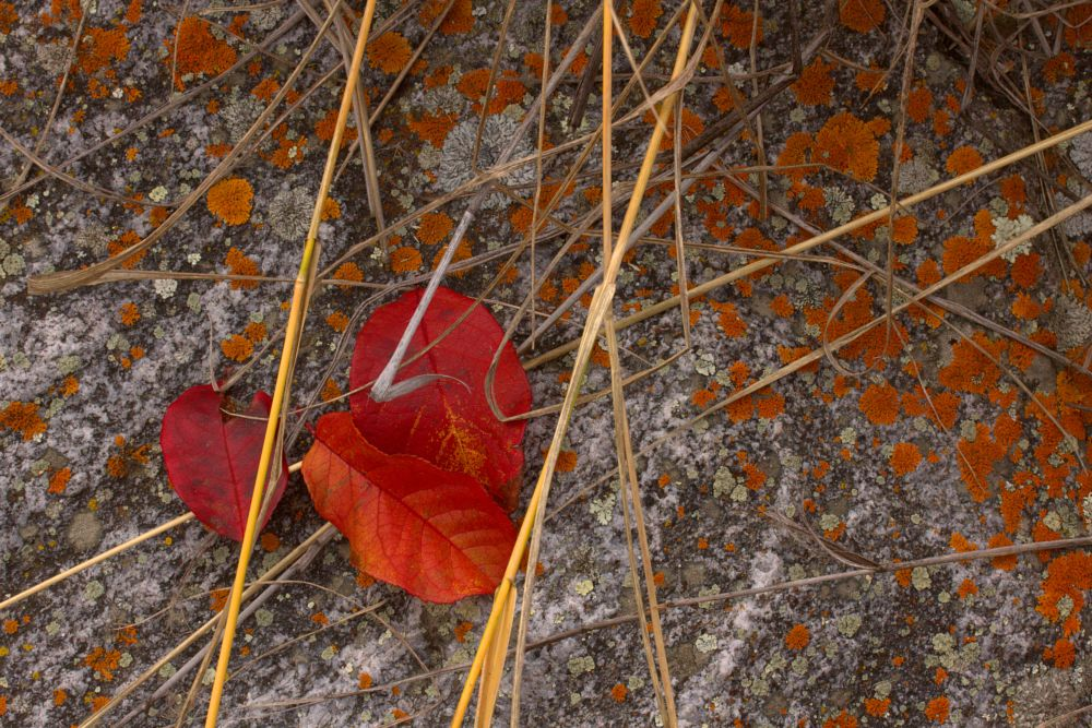 Photo in Random #red leaves #grey granite rock #fall colors