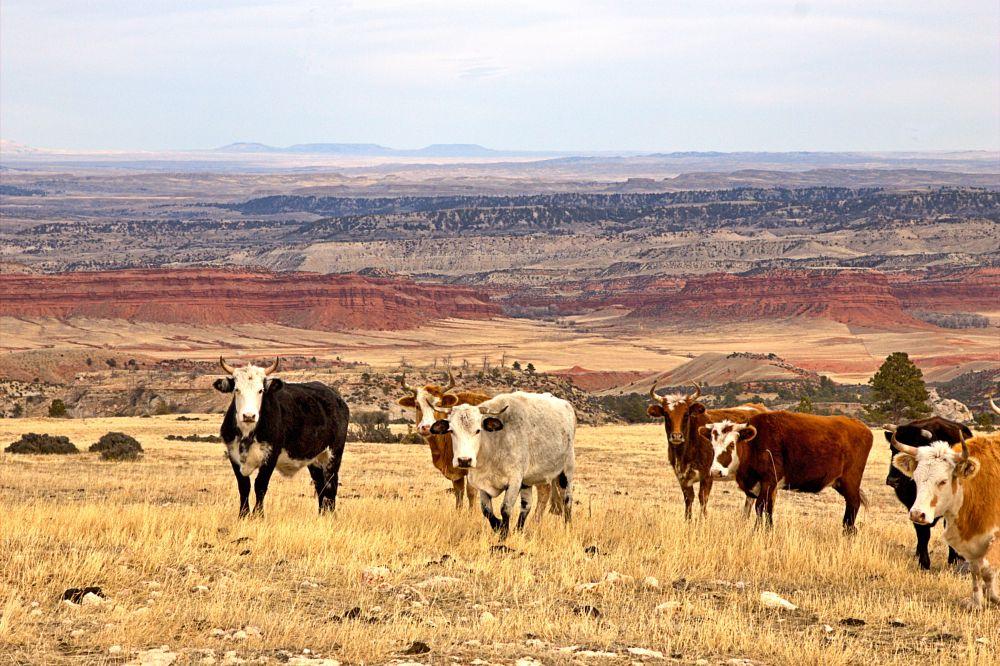 Photo in Landscape #cattle #mountain #prairie #rocky mountains #vista #wyoming #western