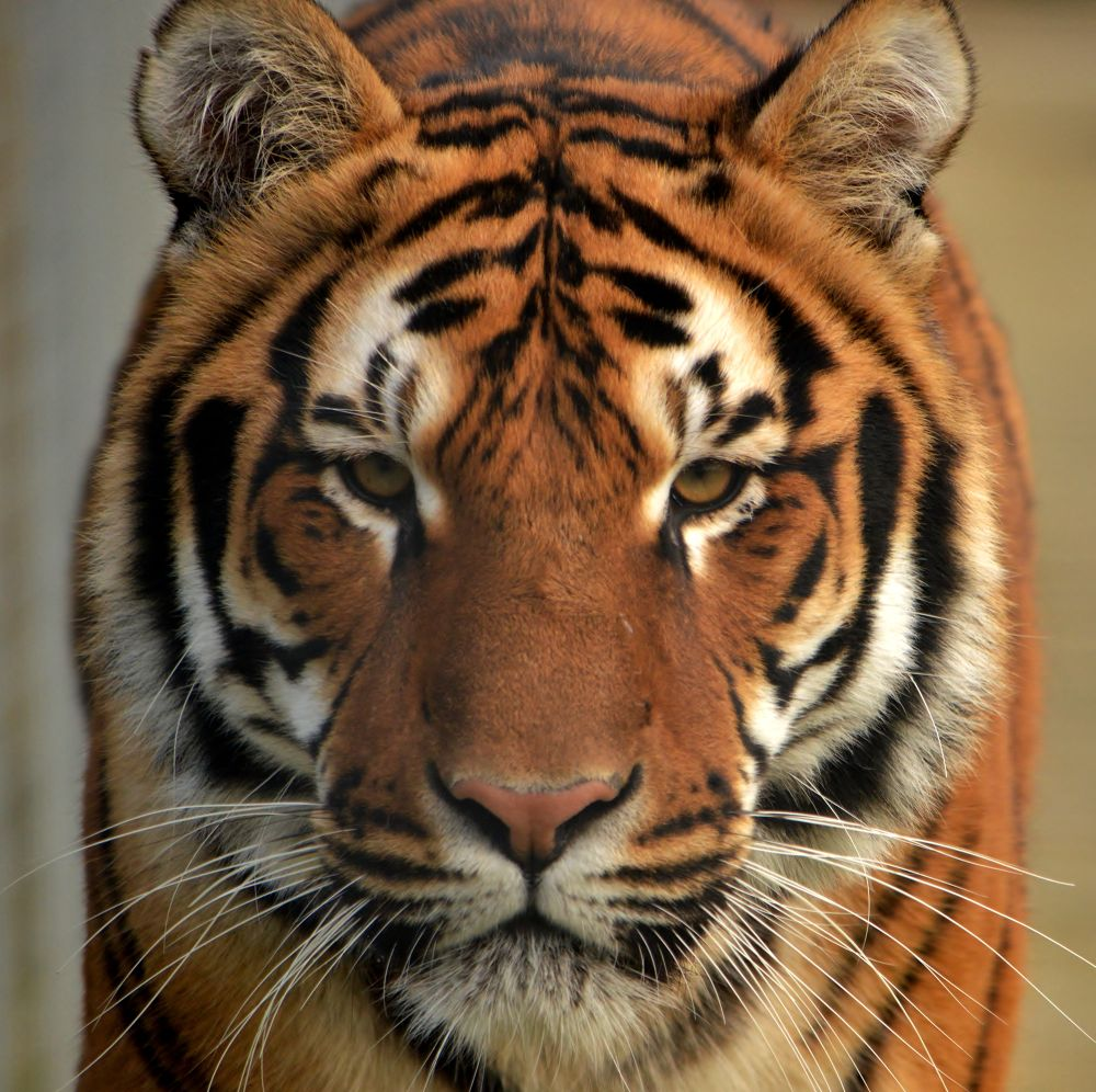 Photo in Nature #nature #cat #tiger #stripes #big cat #whiskers #bengal tiger