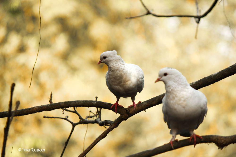 Photo in Animal #birds #white #bangladesh #birds of bangladesh #nature #photograaphy #beautiful bangladesh #countryside #village #village of bangladesh #tour bangladesh #animal #dove #domestic pigeon #pigeon #white #random