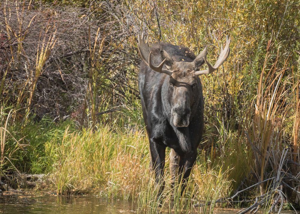 Photo in Animal #wildlife moose idaho usa