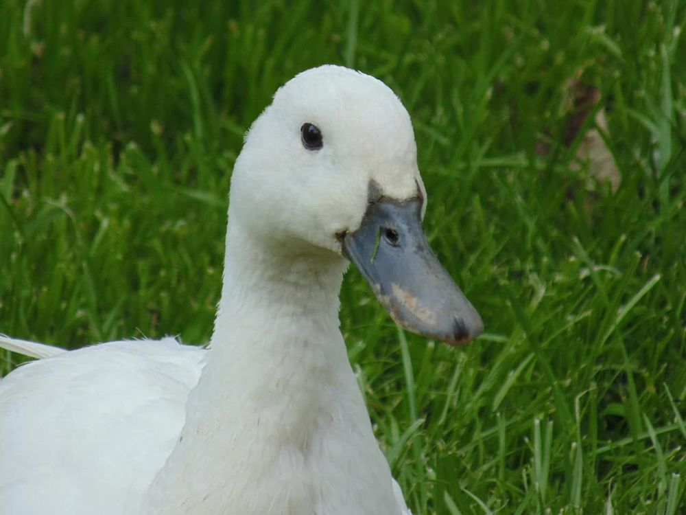 Photo in Animal #duck #nature #countryside
