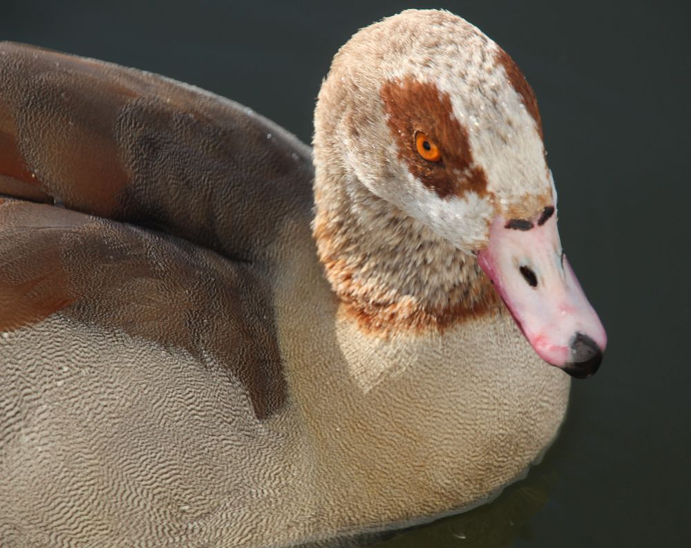 Photo in Animal #ente #duck #amsterdam