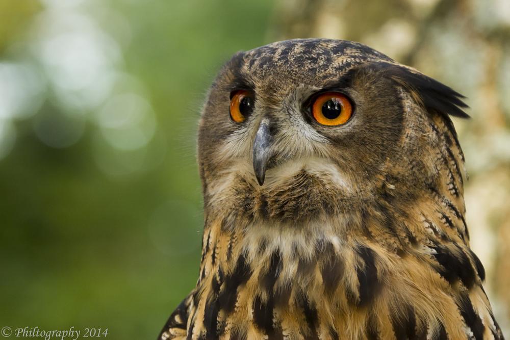 Photo in Animal #hawk conservancy #andover #hampshire #owl #eagle owl #raptor
