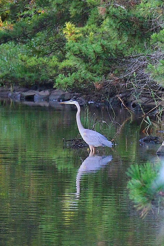 Photo in Animal #bird #heron #water #trees #reflection
