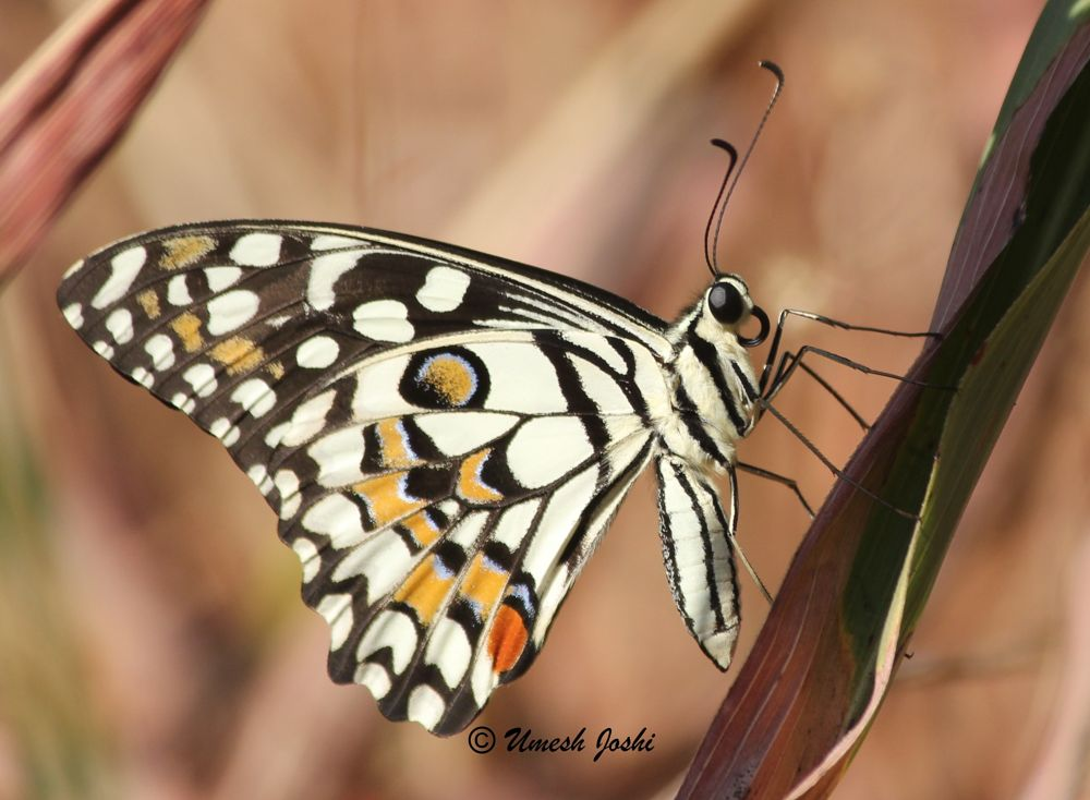 Photo in Nature #butterfly common lime