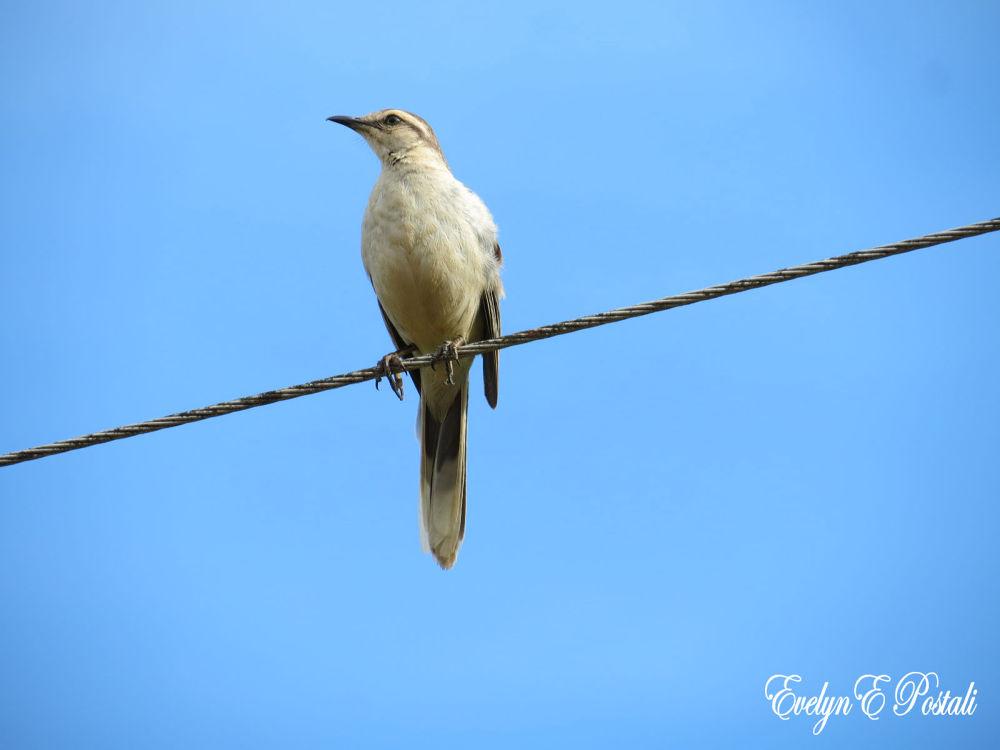 Photo in Nature #nature #sabiá de praia #natureza #pássaro