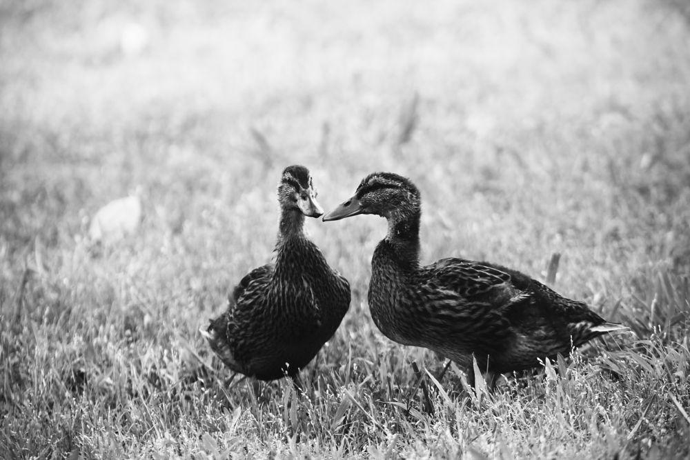 Photo in Animal #ducks #birds #bird photography #animals