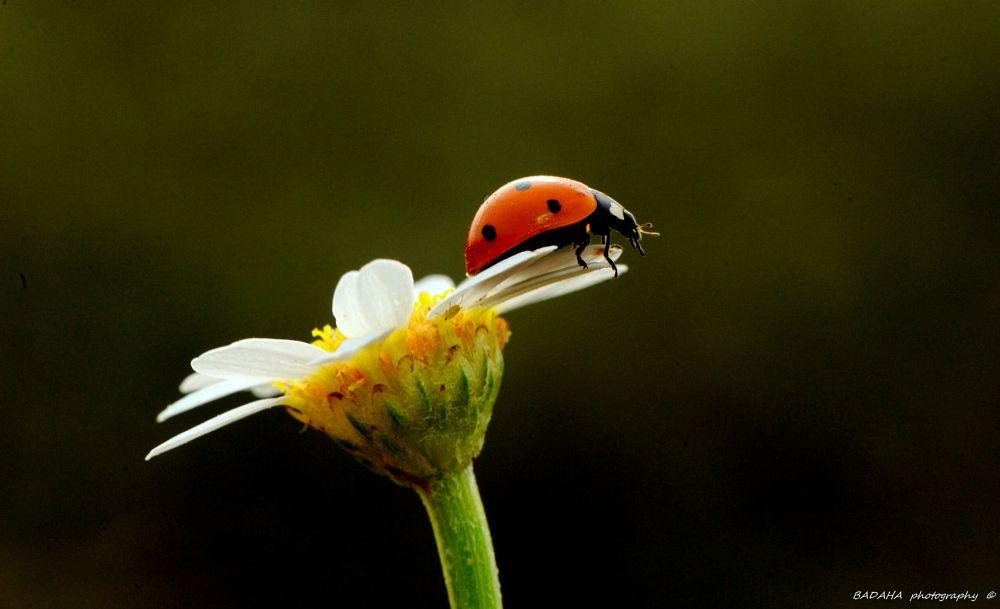 Photo in Macro #ladybug #nice #luck #happy #view #badaha #photography