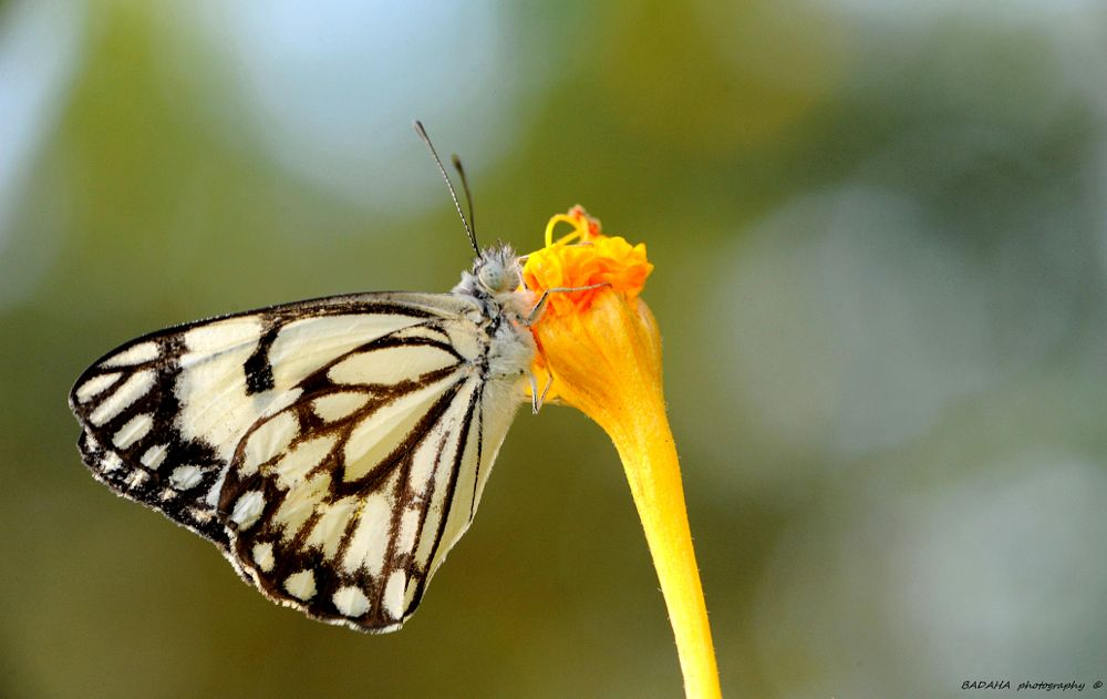 Photo in Macro #insect #butterfly #tend #wind #great #colors #badaha #photos #nice day