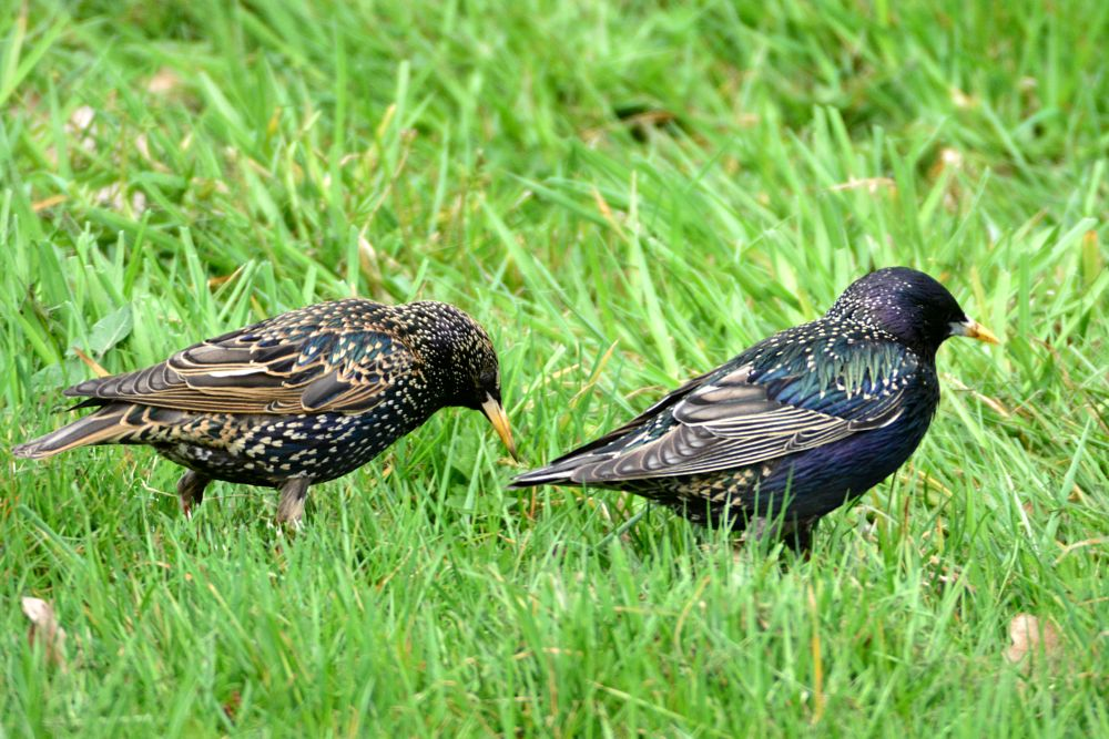 Photo in Animal #bird #couple #starlings
