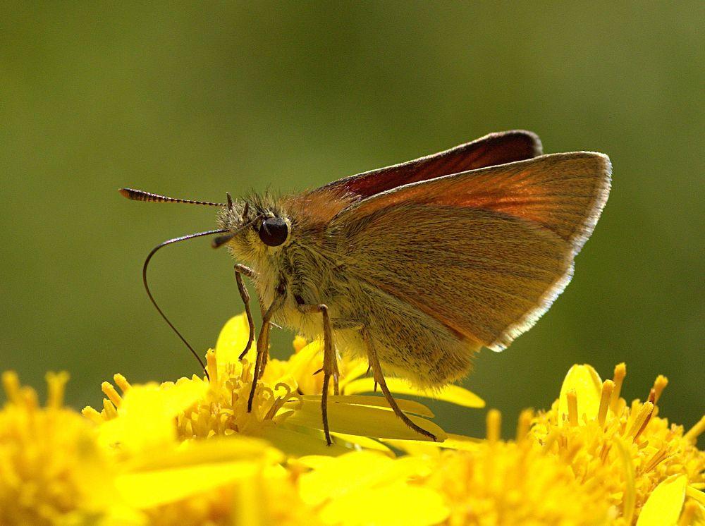 Photo in Macro #ypa2013 #butterfly #insect #macro #closeup #small skipper #ragwort #yellow #wings #brown #proboscis #antennae #legs #eye