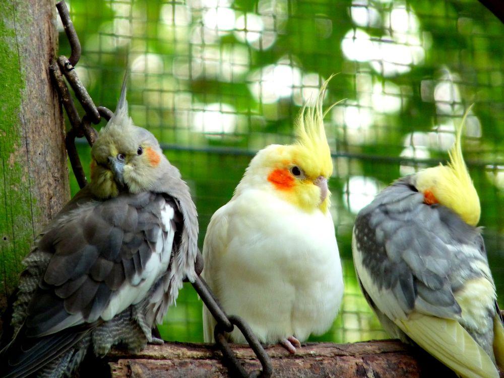 Photo in Animal #bird #parkiet #vogel #summer #trio #kuif #sun