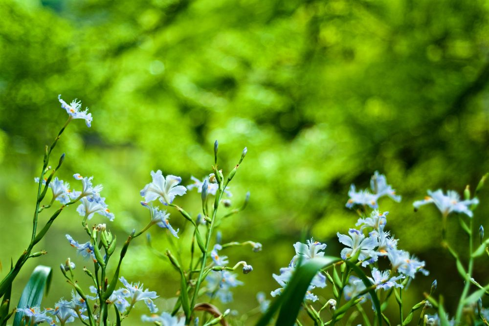 Photo in Landscape #iris japonica #spring #flower #bloom #blossom #leica #leicacl #machida #tokyo #summicron