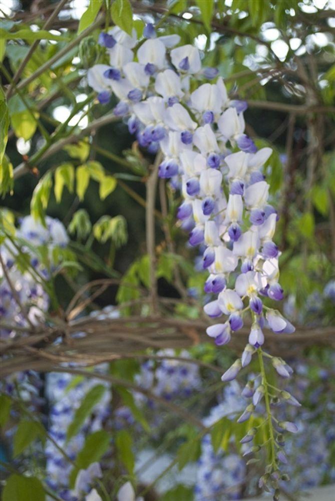 Photo in Random #wisteria #ripe