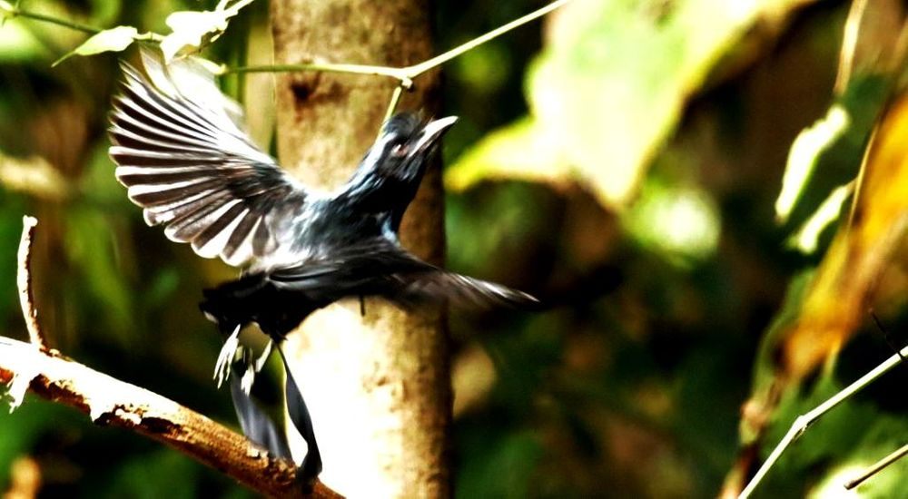 Photo in Animal #greater racket-tailed drongo #greater racket-tailed drongos #racket-tailed drongos #racket-tailed drongo #drongo #drongos #bird #birds #wild #wildlife #animal #nature #canon