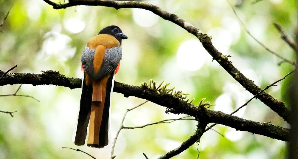 Photo in Animal #malabar trogon #trogon #malabar trogon male #trogon male #colourful #beautiful #evergreen forest #forest #wildlife #wild #animal #bird #birds #malabar #tree #leaves #branches #nature