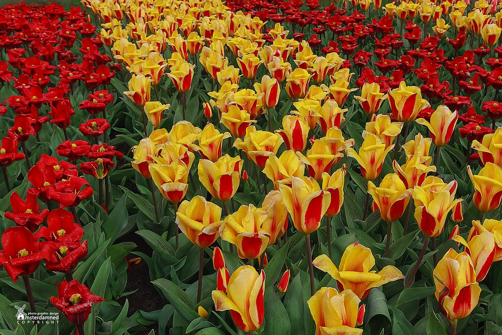 Photo in Nature #amsterdamned #holland #dutch #flowers #tulips #keukenhof #lisse #netherlands #zuid holland #tulip #flower #tulipfield #bollenstreek #hillegom #flower garden #nature