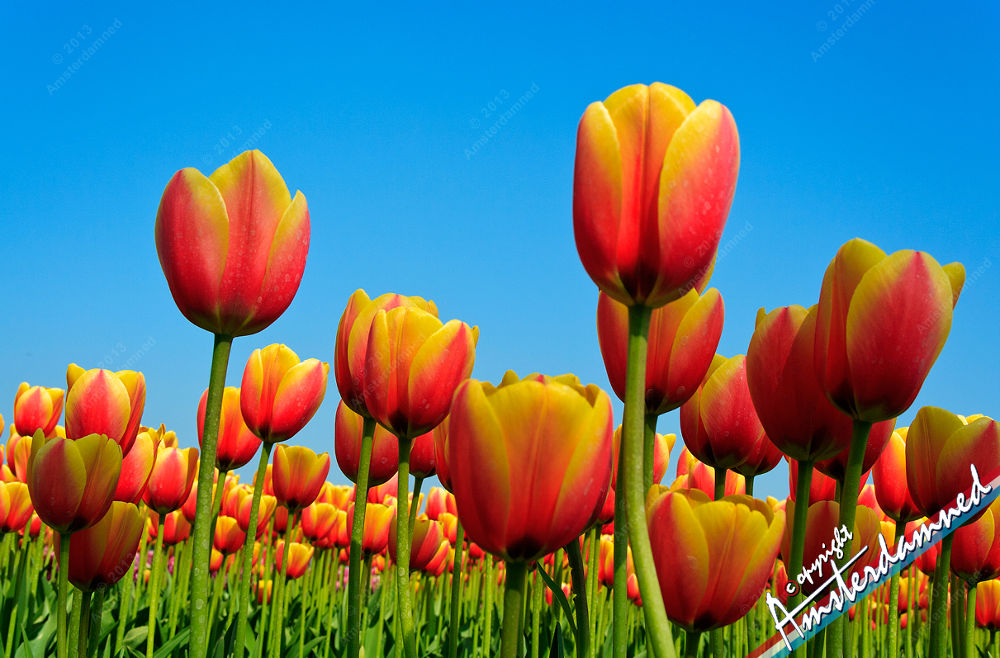 Photo in Nature #nature #spring #flowers #tulips #flowerfields #holland #netherlands