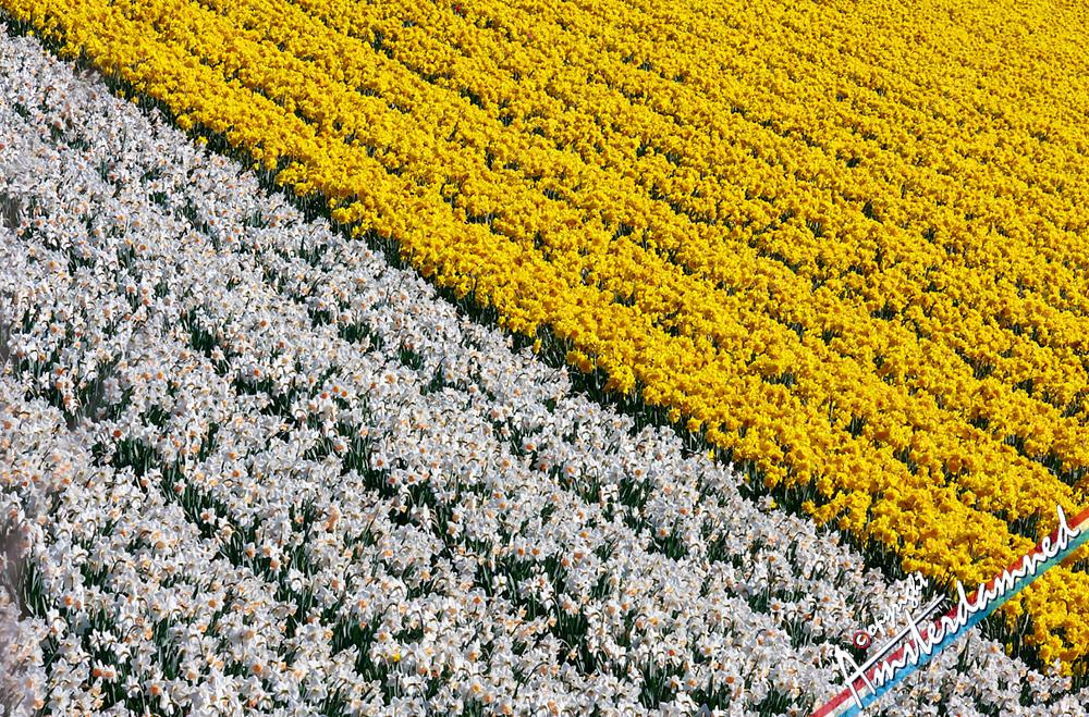 Photo in Nature #amsterdamned #hillego #lisse #zuid holland #bollenstreek #zuid-holland #holland #the netherlands #flower #flowers #flower field #field #nature #landscape #daffodille #daffodilles #spring