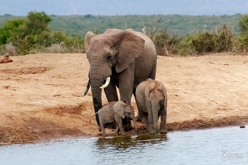 Photo in Animal #amsterdamned #elephants #safari #addo #national park #wildlife #africa #south africa #south-africa #addo elephant national park #youngster #oostkaap #eastern cape #cape #nature