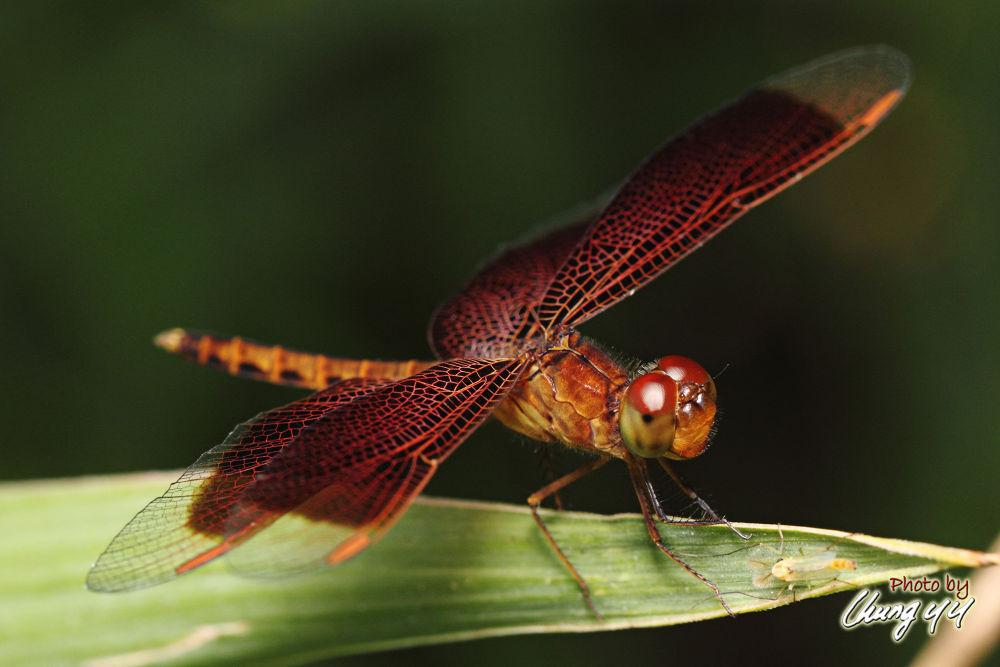 Photo in Macro #dragonfly #canon eos 550d #canon ef 100mm f2.8l is usm #善变蜻蜓 #libellulidae #蜻蜓 #cyy4993