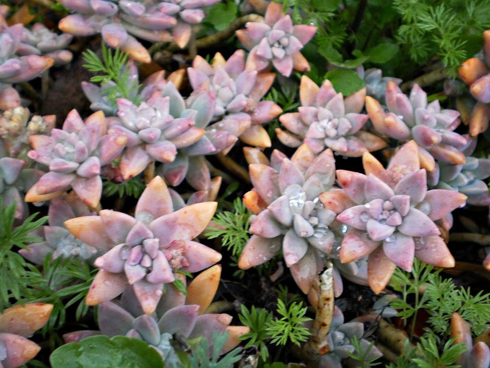 Photo in Nature #echeveria #garden #australian #nature #apricot #glow #seedlings #hybrid #boots