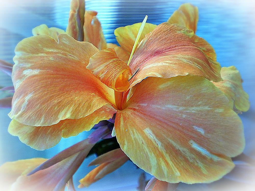 Photo in Nature #canna #garden #variegated #qld #australia #nature #flowers #blooms #green #pastel #pink #lemon #orange
