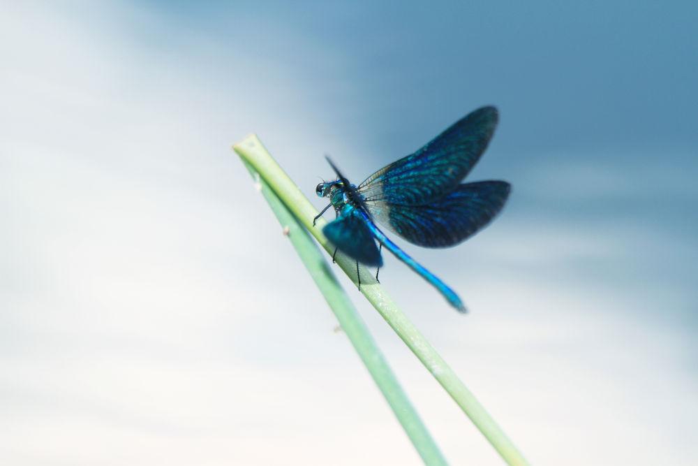 Photo in Random #dragonfly #libellule #nature #macro #blue #canon #acidezen #www.acidezen.fr #laurent delfraissy #photography #photographie #ypa2013