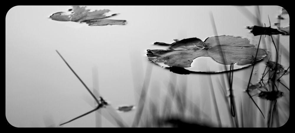 Photo in Black and White #b&w #n&b #laurent delfraissy #ypa2013 #www.acidezen.fr #noir & blanc #2.8 #canon #nature #nenuphar #eau
