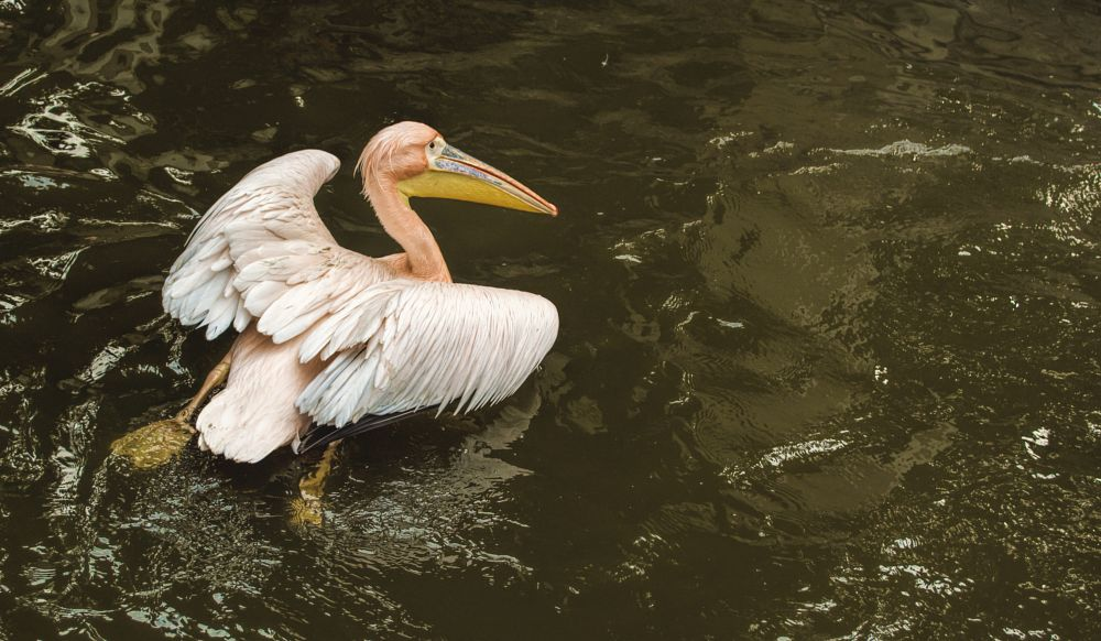 Photo in Animal #nature #pelicans #bird #lake #white #green #swimming #water #national park #zoo