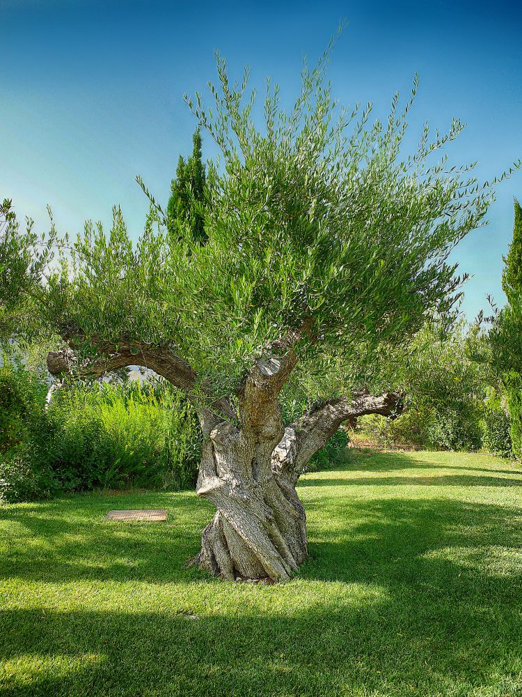 Photo in Nature #tree #olive