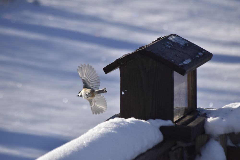 Photo in Nature #in flight #chickadee #bird #feeder