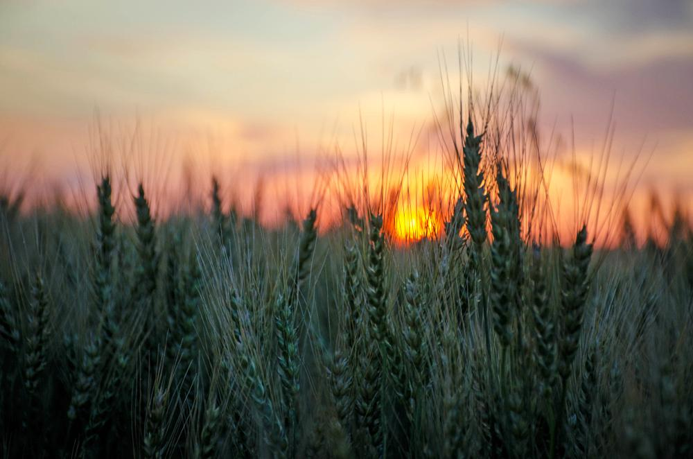 Photo in Nature #wheat #prairies #sunset