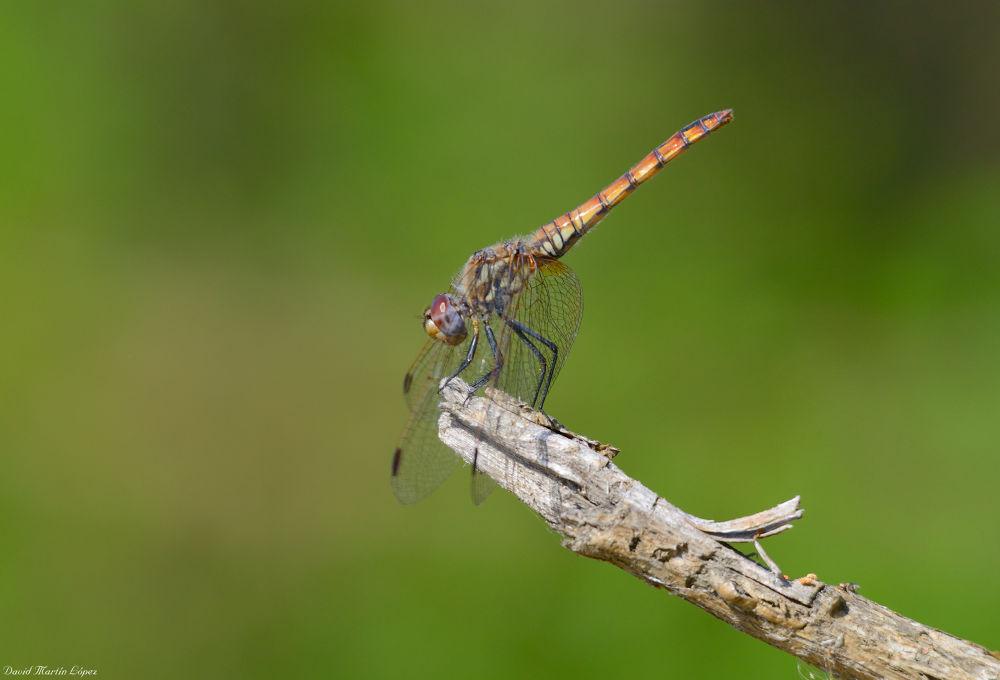 Photo in Macro #dancer #bailarín #dragonfly #libélula #animal #macro #yellow #amarillo #naranja #orange