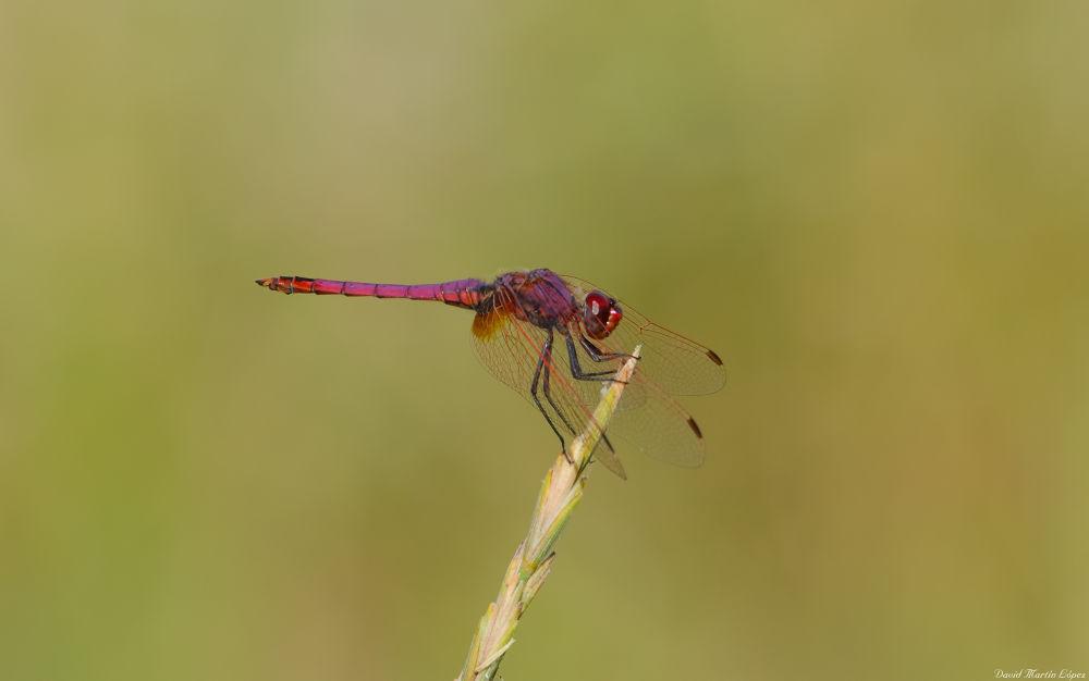 Photo in Macro #red #roja #dragonfly #libélula #delta del llobregat #macro #animal