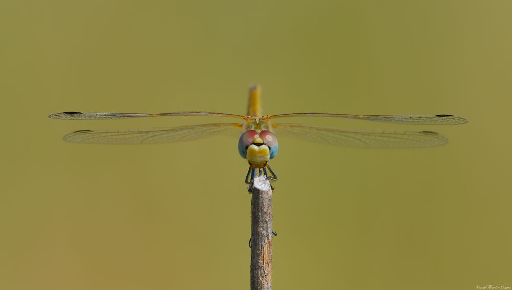 Photo in Macro #amarillo #animal #azul #blue #cara #dragonfly #eyes #face #female #hembra #libélula #macro #naturaleza #nature #yellow #sympetrum fonscolombii