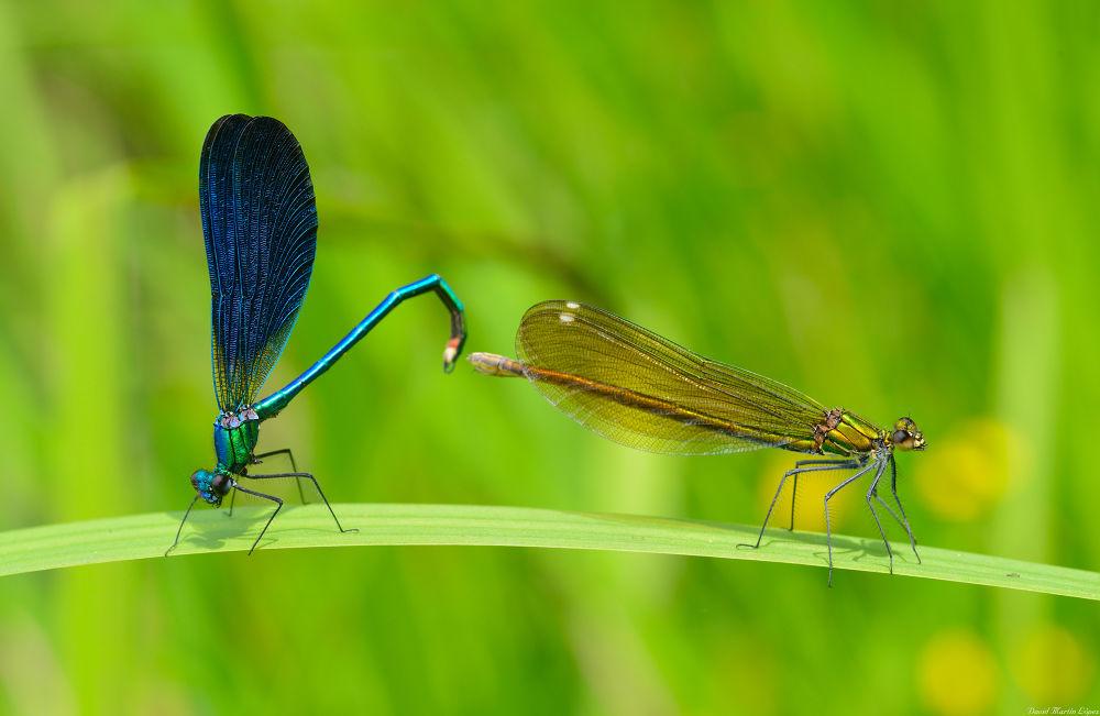 Photo in Random #green metallic verde odonat #azul #blue #caballito del diablo #cobre #copper #damselfly #green #metalico #metallic #odonata #verde