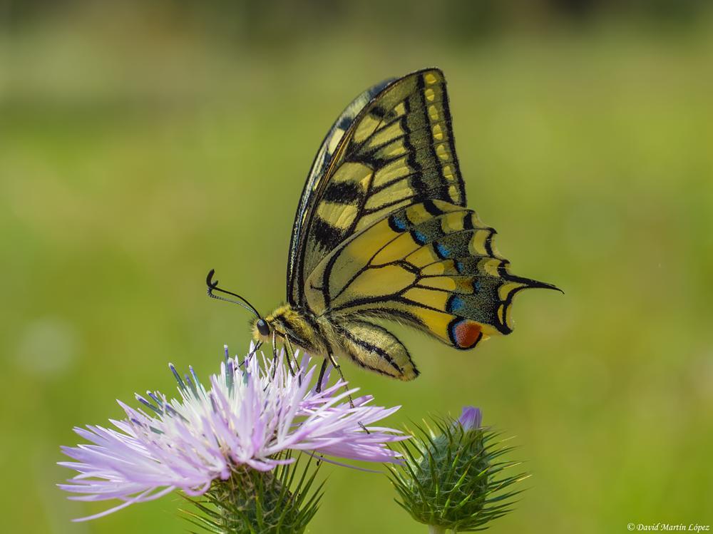 Photo in Macro #butterfly #mariposa #machaon #papilio #macaon #nature #naturaleza #thistle #cardo #macro #animal