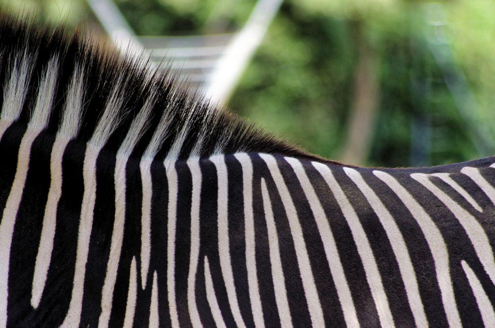 Photo in Animal #zebra #zoo #animal #black #white
