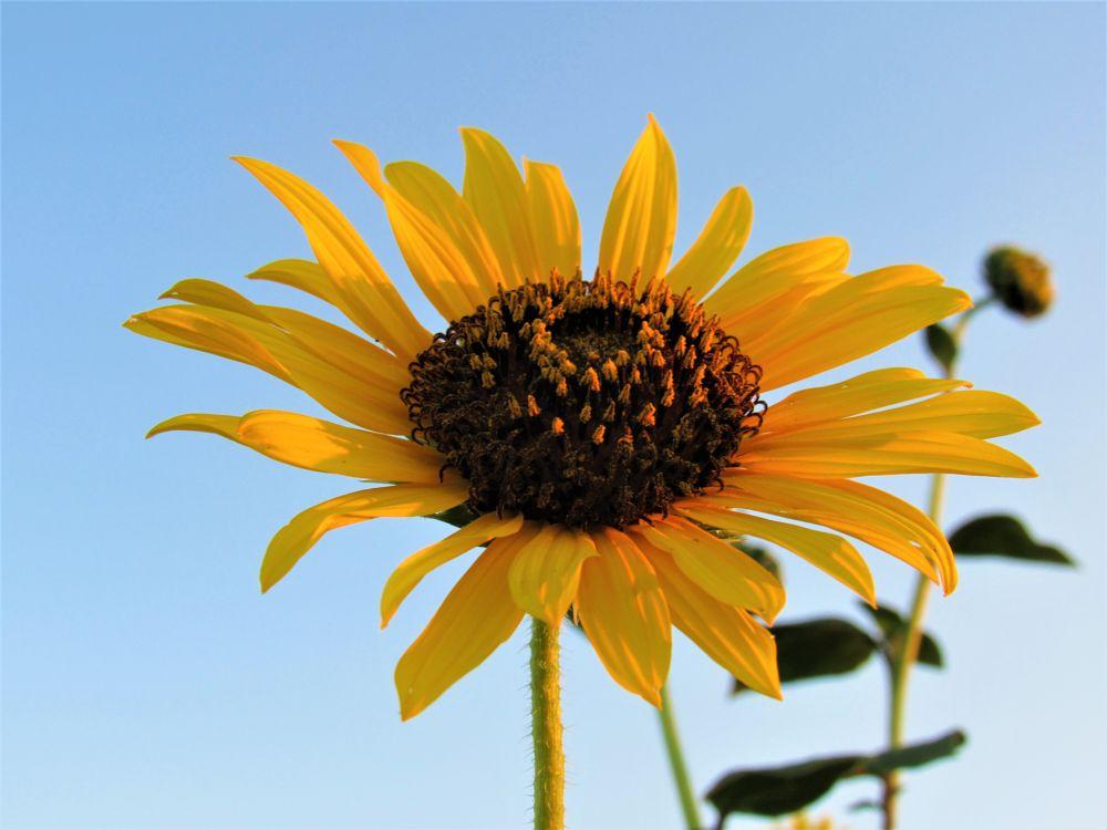 Photo in Still Life #sunflower #nature #plant #flower