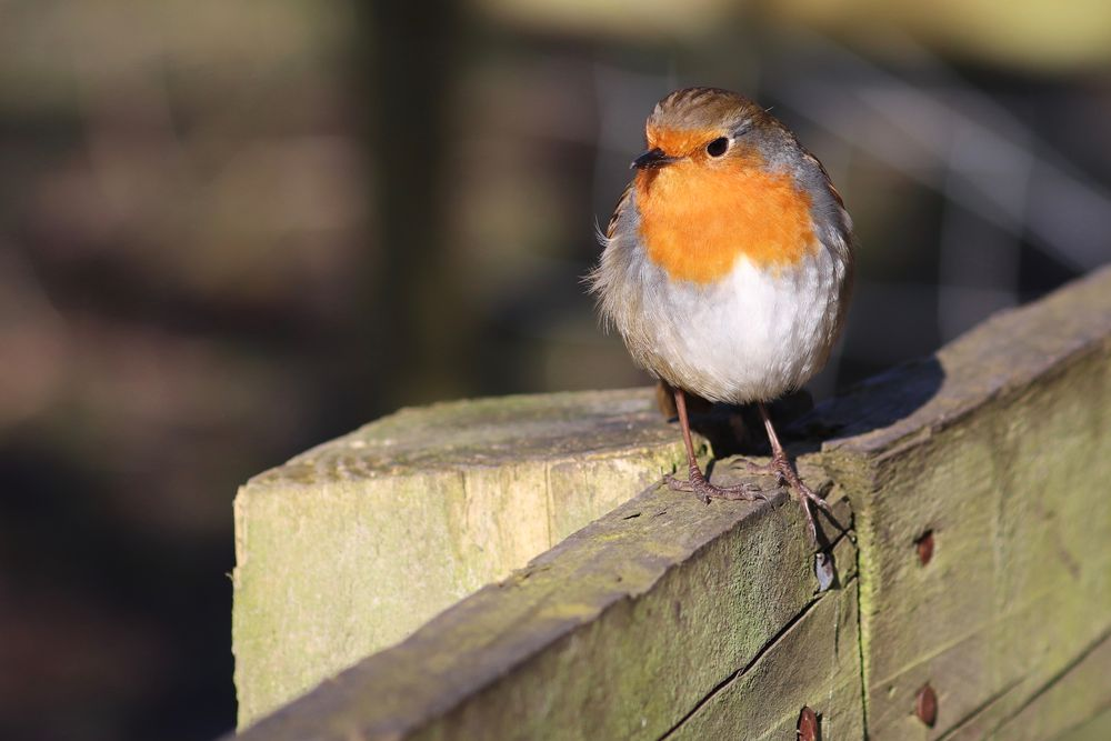 Photo in Nature #nature #wildlife #robin #bird #sunlight #random