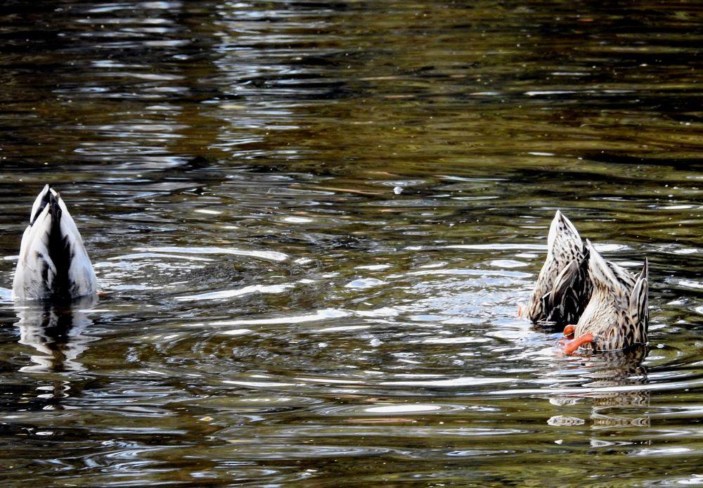 Photo in Animal #bird #naples #mister arnauna #anatra #duck #uccello #isola delle passioni #mostra d'oltremare #lake #lago