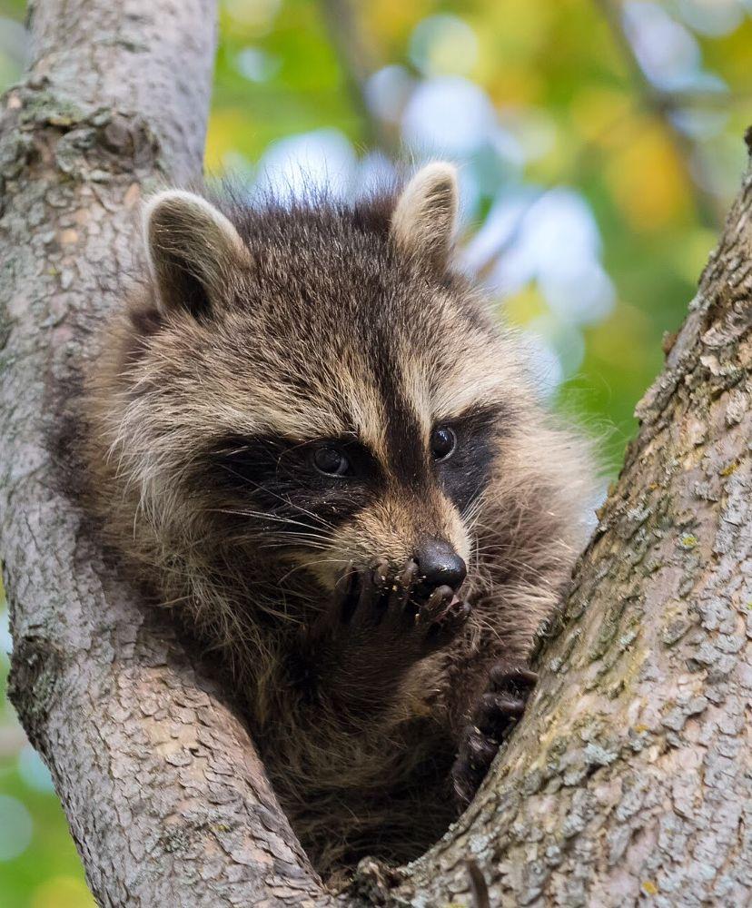 Photo in Animal #raccoon #wild #wild'ife #nature #animal