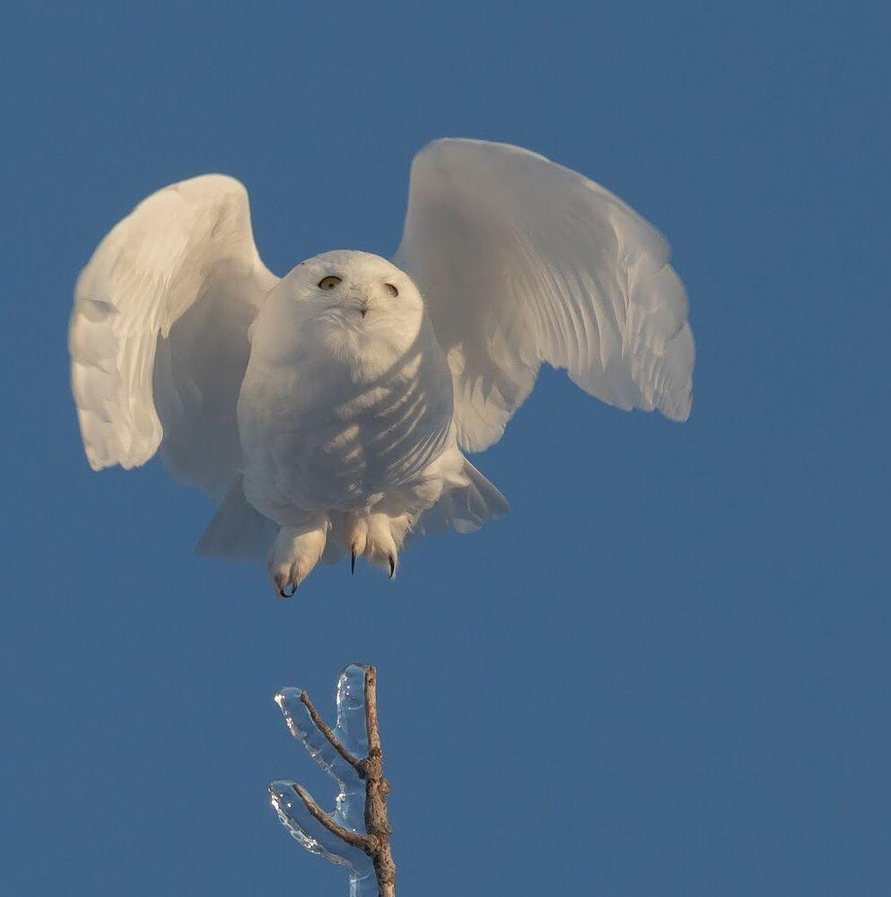 Photo in Animal #snowy owl #bird #birdwatching #birdwatchers #nature #animal #wild #wildlife #ornithology #bird in flight