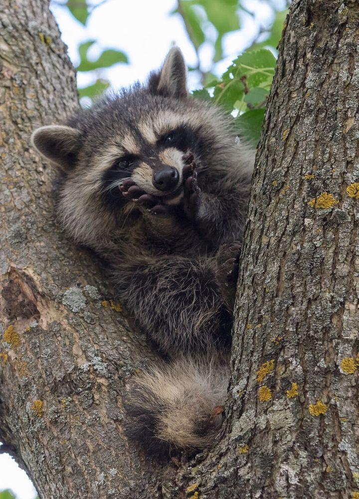 Photo in Animal #raccoon #animal #wild #wildlife #nature #mammal